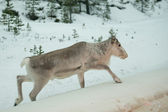 Lapland reindeer portrait in winter snow time — Stock Photo
