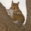 Stock Photo: Squirrel portrait