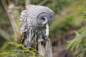 Grey owl portrait while eating a mouse — Stock Photo