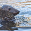 Grey seal portrait — Stock Photo #39513569