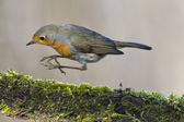 Robin bird red breast — Stockfoto