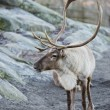 Stock Photo: Reindeer portrait in winter time