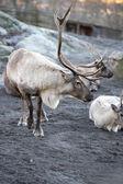 Reindeer portrait in winter time — Stock Photo