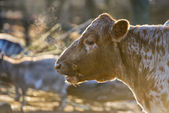 A cow portrait in winter time — Stock Photo