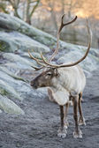 Reindeer portrait in winter time — Stock Photo