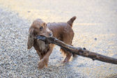 Puppy dog cocker spaniel playing on the beach — Stock Photo