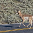 Pronghorn in Lamar Valley — Stock Photo