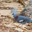 Exotic blue pigeon on the beach — Stock Photo