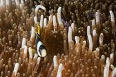 Clown fish in anemone with shrimps in Raja Ampat Papua, Indonesi — Zdjęcie stockowe