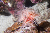 Ceriantus worm enquanto mergulho na indonésia — Fotografia Stock
