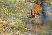 Puppy dog cocker spaniel — Stock Photo