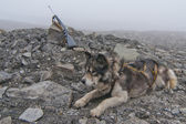 Husky dog with hunting rifle on foggy day — Стоковое фото