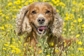 English puppy cocker spaniel dog on the grass background — Foto Stock