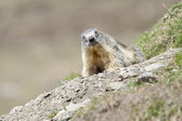Marmot portrait while looking at you — Stock Photo