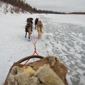 Sledding with sled dog in lapland in winter time — Stock Photo