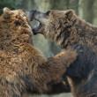 Two brown grizzly bears while fighting — Stock Photo