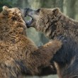 Stock Photo: Two brown grizzly bears while fighting