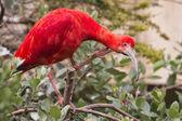 Red ibis bird portrait — Stock Photo