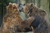 Two brown grizzly bears while fighting — Стоковое фото