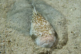 Stargazer priest scorpion fish — Stock Photo