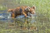 小狗可卡犬在水里玩 — 图库照片