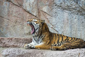 Tiger while yawning — Stock Photo