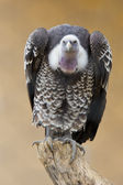 Isolated vulture, buzzard looking at you — Stock Photo