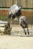 Kangaroo while jumping and chased by ostrich — Stock Photo