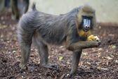 Isolated Mandrill Monkey portrait — Stock Photo