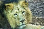 Male asian lion while looking at you at the zoo — Stock Photo