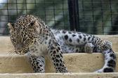 Jaguar leopard chetaa närbild porträtt — Stockfoto