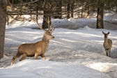 Deer on the snow backgrond — Stock Photo