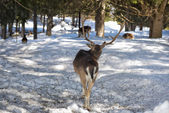 Deer on the snow background — Stock Photo