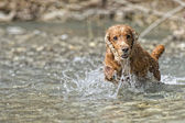 Puppy dog cocker spaniel — Stock Photo