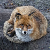 Red fox portrait — Stock Photo