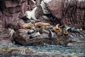 Sea lion seals relaxing  — Stok fotoğraf