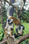 Lemur monkey while spreading arms to the sun — Stock Photo