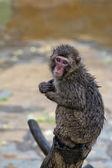 Japanese macaque monkey portrait — Stock Photo