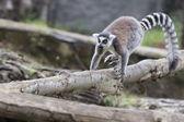 Lemur apa — Stockfoto