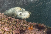 Male sea lion underwater looking at you — Stock Photo