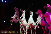Rampant circus white horses — Stock Photo