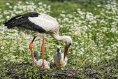 Cicogna con cucciolo di bambino nel suo nido sullo sfondo Margherita — Foto Stock