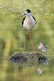 Young puppy bird black-winged stilt and mother — Stock Photo