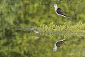 Young puppy bird black-winged stilt and mother — Stok fotoğraf