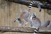 Atlama sırasında lemur maymun — Stok fotoğraf