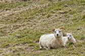 Female white ram sheep — Stock Photo