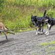 Sled dog while training in summer — Stock Photo