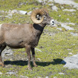 Big Horn Sheep portrait — Stock Photo #43659799