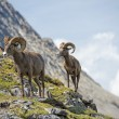 Big Horn Sheep portrait while walking on the mountain edge — Stock Photo #43659821