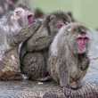 Japanese macaque group monkey portrait at the zoo — Stock Photo